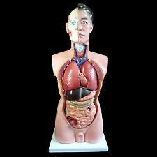Human 85cm Male Torso Anatomical Model Skeleton Life Size - Medical Anatomy