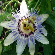 Passion Flower- Passiflora Caerulea-25 seeds- BOGO 50% off SALE