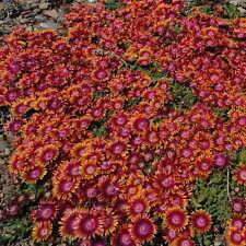 Plantes Delosperma fire Spinner pot 1 litre
