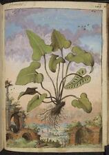 Fern Phyllitis Hemiontis Plant Botanical Vintage Print 7x5 Inch Reprint
