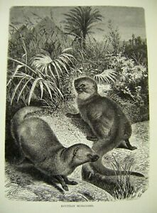 Original Antique Wood Engraved Print ~ ''Egyptian Mongooses'' c1889