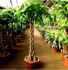 5 SEEDS MONEY TREE PACHIRA AQUATICA MALABAR CHESTNUT fresh 2018 C524
