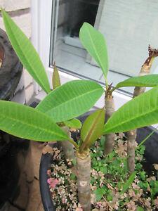 Plumeria rubra, Frangipani, Tempelbaum, ausgetrieben, bewurzelt, ca. 20 cm