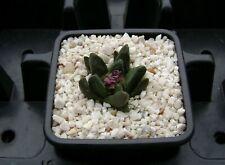 Ariocarpus scaphirostris Mmr 15 ! Own Roots ! Rare Cactus 01209