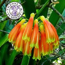Rare  Clivia nobilis Lindl,  flower - 2 seeds - UK SELLER
