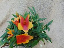 Rare Dendrobium (cuthbertsonii x sulawesiense) x cuth. orchid plant FS