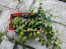 Creeping Fig Vine Ficus pumila Plant