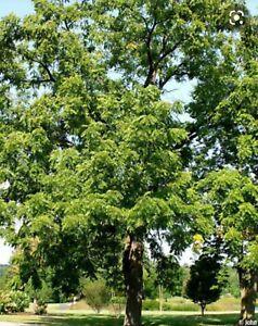 BLACK WALNUT TREE (Juglans Nigra) Cell grown  65-85cm (2-2.5ft) Edible nuts,