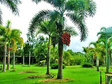 Wodyetia Bifurca Foxtail Palm Fresh Seed Ready Plant Easy Grow Beauty Garden