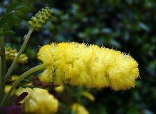 Drummond's Wattle Seed Drought/Frost Hardy (Acacia drummondii)