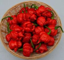 Hot Chili Pepper - TRINIDAD MORUGA SCORPION RED -15 Heirloom Vegetable Seeds
