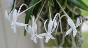 """Neofineta falcata """"diamond orchids' AM/AOS x Neo 'Figuero Mountai, orchid plant"""