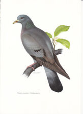 Planche 163 Histoire Naturelle Oiseaux : Pigeon Colombin
