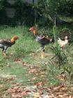 Pure breed Malay Asil Aseel Hen Fertile Hatching Egg