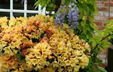 Rhododendron Nancy Evan - #1 Container Plant - Yellow Blooms! - Hardy to 5 F