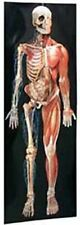 Dimensional Man/Life-size Anatomical pop-up Wall Chart