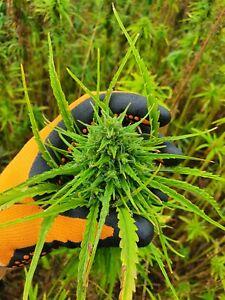 Hemp Organic Seeds certified 500Pcs High Quality A Grade For Planting
