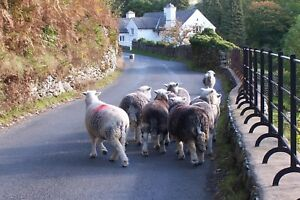 """Card: """"Herdwick Sheep Langdale Valley, Lake District"""" #PeterBrighousePhotography"""