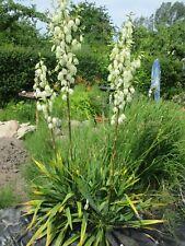 Yucca Palmlilie Pflanze Staude Kräuter Natur-Biogarten