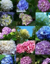 Mixed Hybrid Hydrangeas! fresh large seeds! mixed colours! Limited quantity NEW