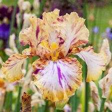 2 Bearded Iris Roots Bulbs Garden Pretty Bonsai Balcony Beautifying Decor Fresh
