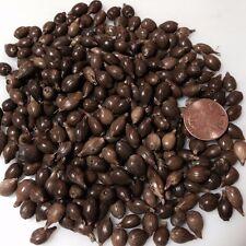 250 seeds -JOB'S TEARS-Coix - Yi Yi Ren - Bead-Herb Seed-Junos Tears-