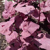 Seeds for Purple Orach | Atriplex hortensis | Amkha Seed