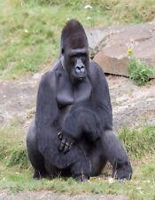 METAL REFRIGERATOR MAGNET Male Silverback Gorilla Sitting Resting Gorillas