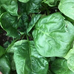 Giant Noble Spinach Seeds, NON-GMO, Variety Sizes, FREE SHIPPING