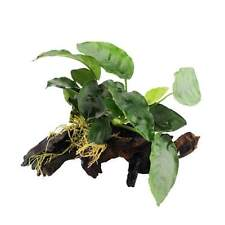 3 (Three) x Small Boogwood Sets with Anubias nana (Hardy Aquatic Plant)
