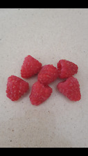 FRAMBUESA  rubus idaeus  - raspberry  - delicioso FRUTO DE BOSQUE 100 semillas