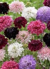 "Scabiosa atropurprurea ""Tall Double Mix"" x 25 seeds. Ask for combined postage"