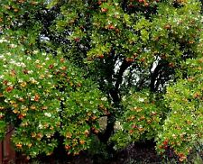 Arbutus unedo - Killarney Strawberry Tree, Plant in 9cm Pot