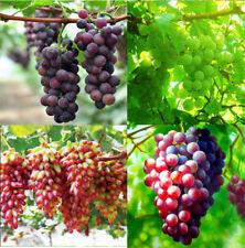 50 Mixed Grape Seeds Vitis Vinifera Delicious Fruit Plant Seed Garden Decor