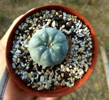 Lophophora diffusa/koehresii/fricii live plant 4cm⌀seedgrown cactus