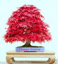 RED JAPANESE MAPLE - Acer palmatum atropurpureum -10 seeds - bonsai SOW ALL YEAR
