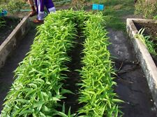 KANG KONG WATER SPINACH HIGHLY PRODUCTIVE LEAF VEGETABLE PERFECT FOR CONTAINERS