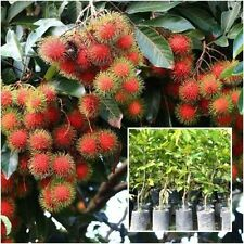 """Rambutan Tree plant grafted """"Rongrean"""" Tall 18"""" delicious Fruit Plant From Thai"""
