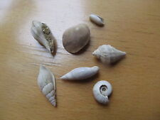 fossil shell - LOT GASTEROPODES DU CUISIEN SAINT GOBAIN 2
