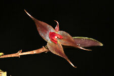 Lepanthes Grandiflora Miniature Orchid Mounted