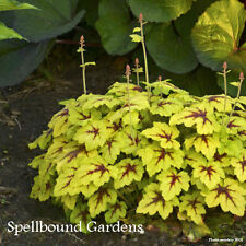 Heucherella 'Catching Fire' PPAF  Foamy Bells Live Plant