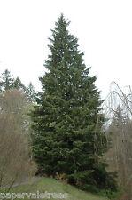 Tsuga heterophylla / Western Hemlock, superb conifer tree grown peat free 3L pot