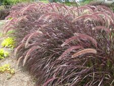 Pennisetum setaceum Rubrum 2 Pint Plants Free Shipping