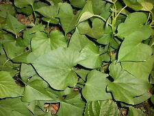 Sweet potato plants (Tender tips and leaves are edible 60 Count for Local pickup