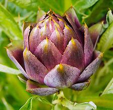 Artichoke Purple Romagna 25 seeds * Cynara scolymus* Non GMO* EZ grow CombSH I32