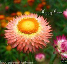 STRAWFLOWER SALMON-ROSE - Helichrysum bracteatum - 900 seeds  EVERLASTING FLOWER