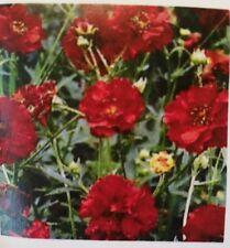 New listing Geum Chiloense Mrs Bradshaw Flower Seeds