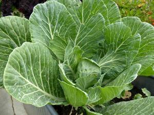 Leaf cabbage - Collard - Astera - 50+ seeds - Semillas - Graines - Samen
