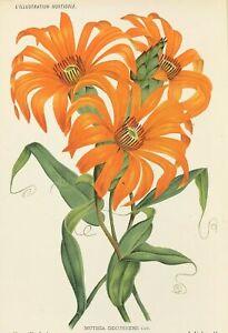 Botanical Perennial MUTISIA DECURRENS Linden Original 1885 chromolitho