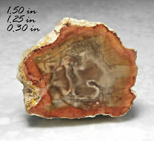 Polished Petrified Wood Conifer Fossilized Madagascar Fossil